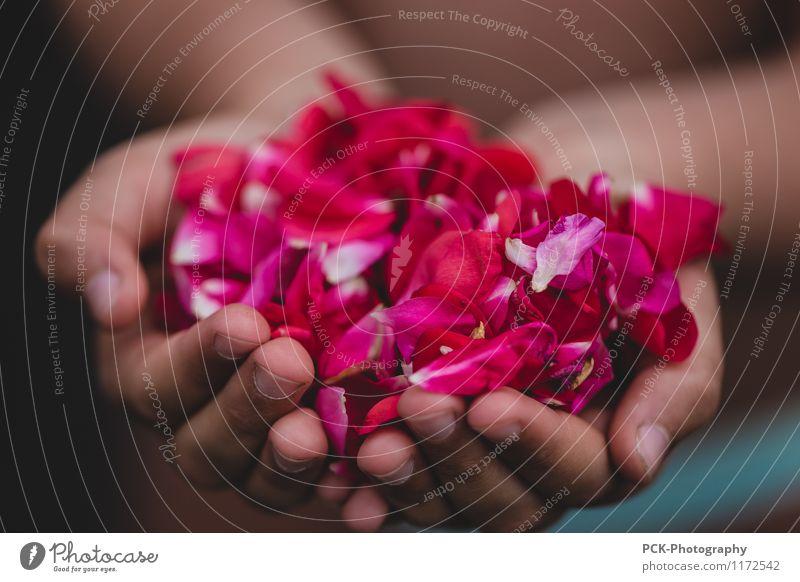 Rosenhand feminin Hand Blüte festhalten schön rosa rot Rosenblüten stoppen anbieten danken Fülle Blüten Farbfoto mehrfarbig Außenaufnahme Nahaufnahme