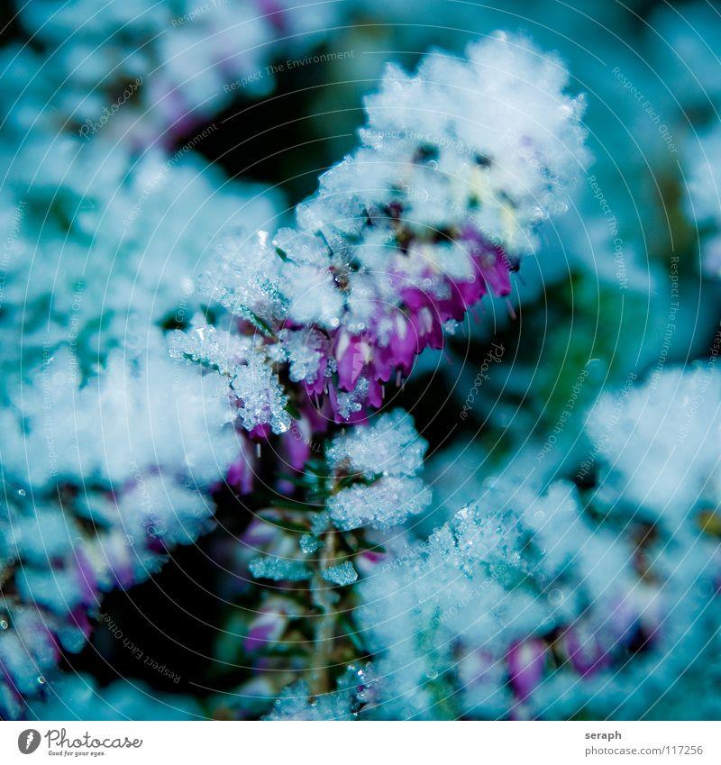 Heidekraut Heidekrautgewächse Bergheide Frost Eiskristall Kristallstrukturen Kristalle Schneekristall Winter gefroren Raureif Schneefall kalt Jahreszeiten