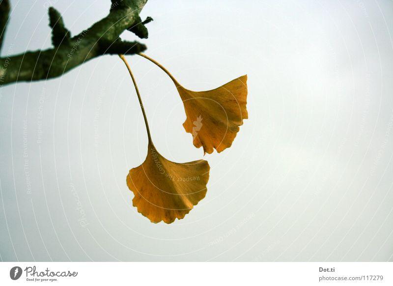 Nacktsamer exotisch Natur Pflanze Himmel Wolken Herbst Baum Blatt gelb grau Ginkgo Stengel trüb Botanik Heilpflanzen Asien China Wunder der Natur