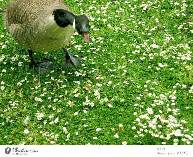 Ente gut, alles gut Blume grün Tier Wiese Vogel Wut Ärger Gans