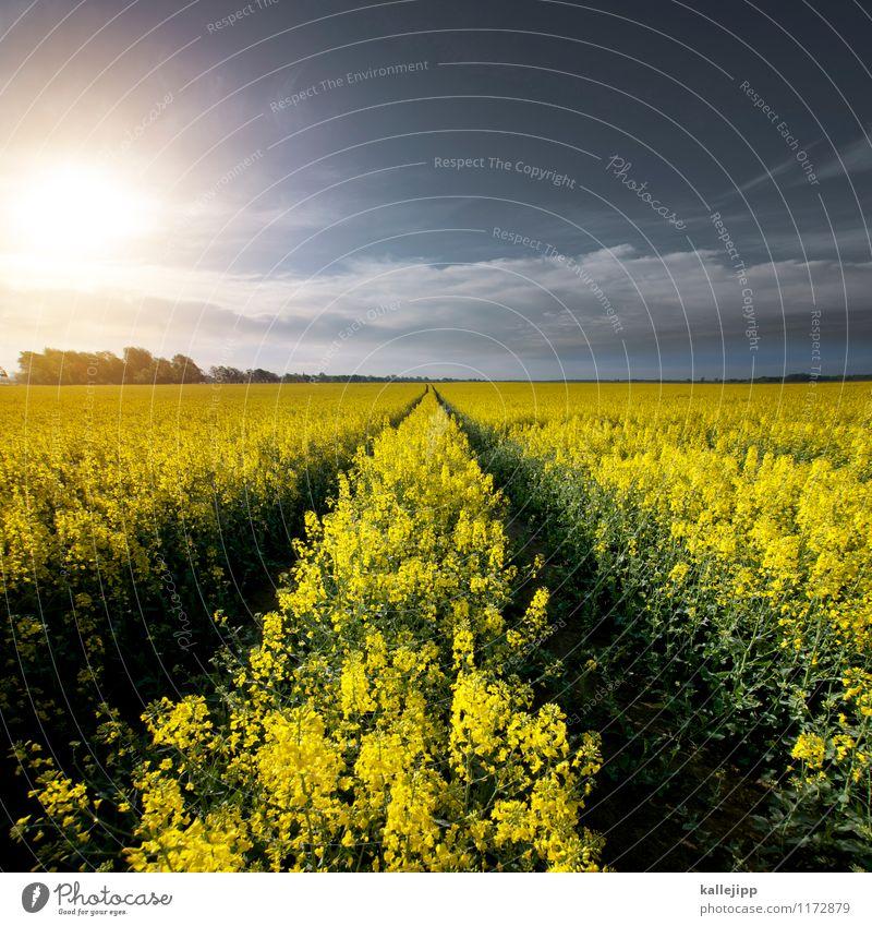rap for raps Himmel Natur Pflanze Sonne Blume Landschaft Wolken Tier Ferne Umwelt gelb Frühling Horizont Feld Klima Zukunft