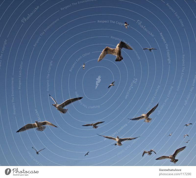 Die Majestät einer unvorstellbaren Freiheit Himmel Meer blau Strand oben Zusammensein Vogel Küste fliegen Horizont Luftverkehr Aussicht Flügel Jagd Möwe