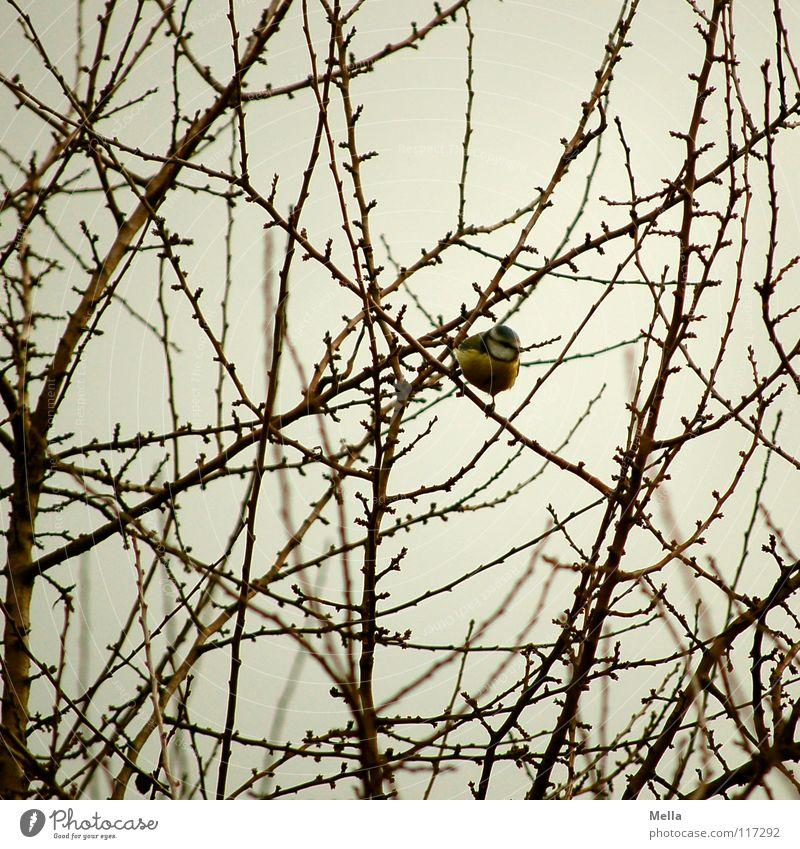 Meisenwinter II Vogel Sträucher leer laublos Blatt fehlen kalt Winter überwintern Futter Suche Appetit & Hunger mehrfarbig gelb Krallen festhalten hocken