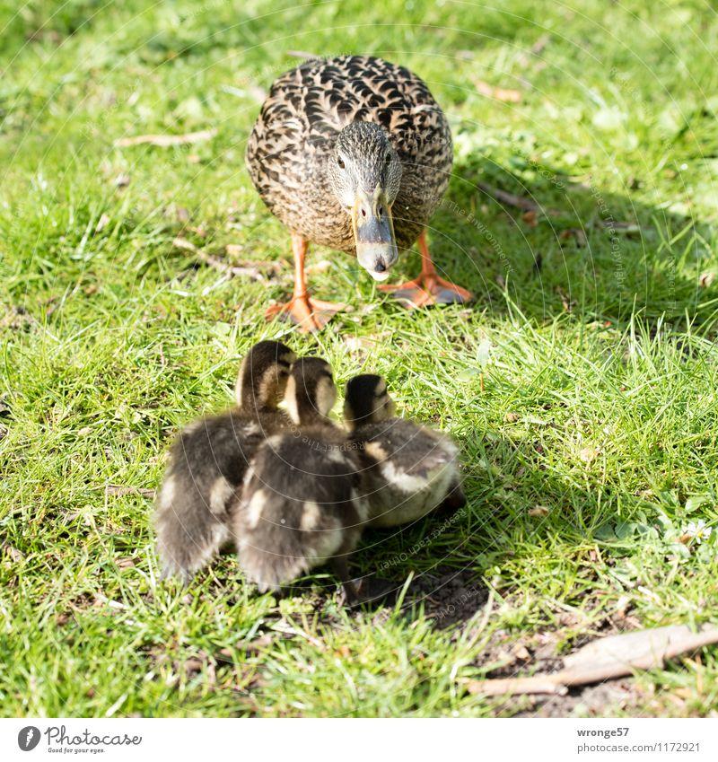 Letzte Ausflugtipps Natur Frühling Sommer Wiese Tier Wildtier Vogel Entenvögel Entenküken 4 Tiergruppe Tierjunges Tierfamilie braun grün Zusammensein Tierliebe