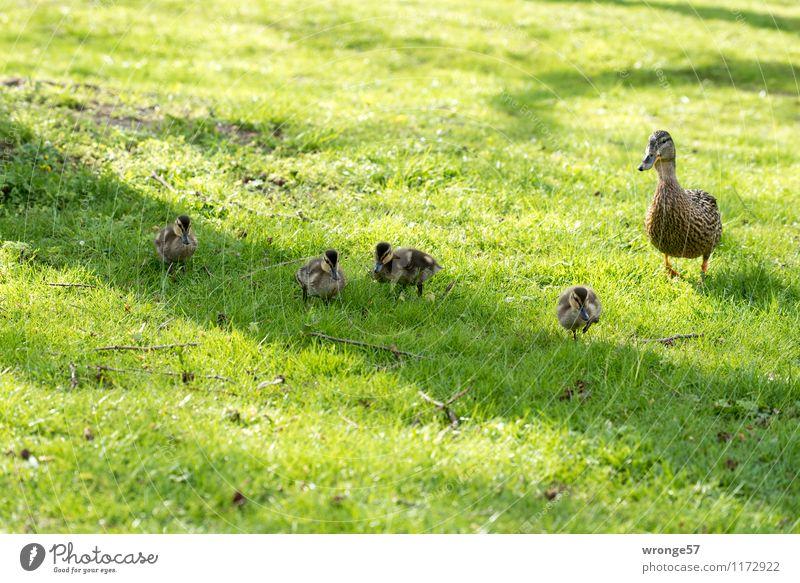 Familienausflug Natur Frühling Sommer Tier Wildtier Vogel Ente Entenvögel Entenfamilie Tiergruppe Tierfamilie braun grün Entenküken Farbfoto Gedeckte Farben