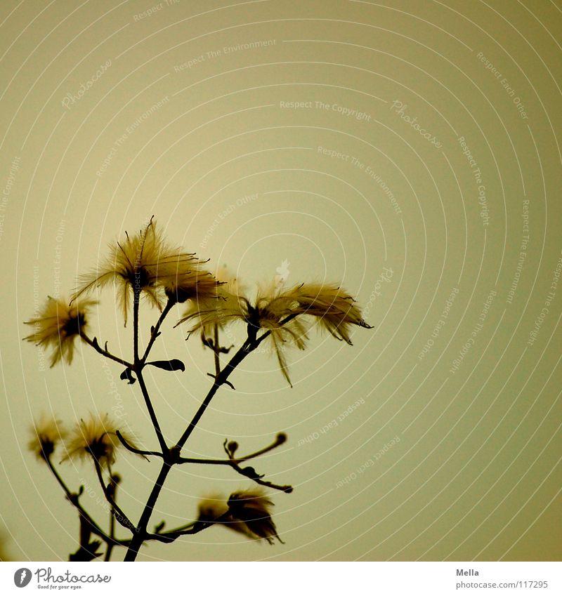 Punk is not dead! Pflanze gelb Blüte leicht verblüht trüb Quaste zerzaust Vor hellem Hintergrund