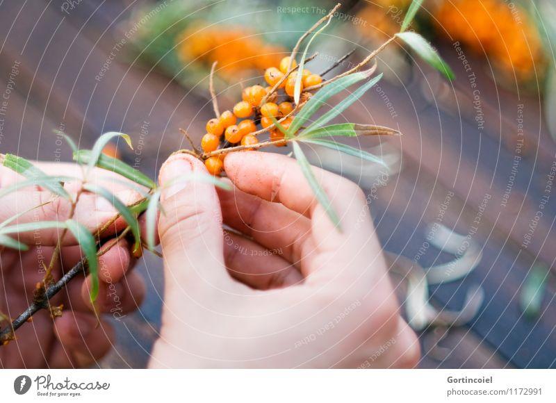 Sanddorn Frucht Sommer Herbst frisch Gesundheit lecker Sanddornblatt Beeren Beerensträucher pflücken Ernte orange Hand zupfen Vitamin C Farbfoto Gedeckte Farben