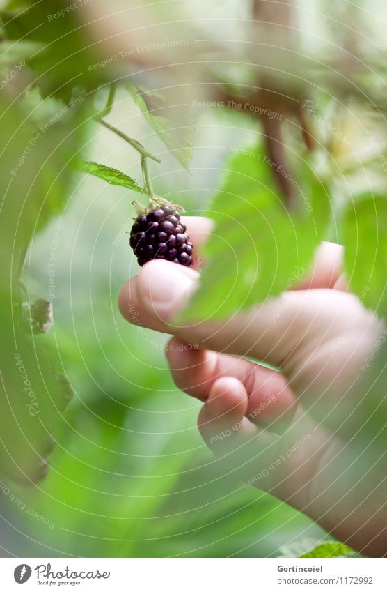 Brombeerernte Frucht Umwelt Natur Sommer Sträucher frisch lecker süß grün schwarz Brombeeren Brombeerbusch Brombeerblätter Ernte pflücken Beeren sommerlich