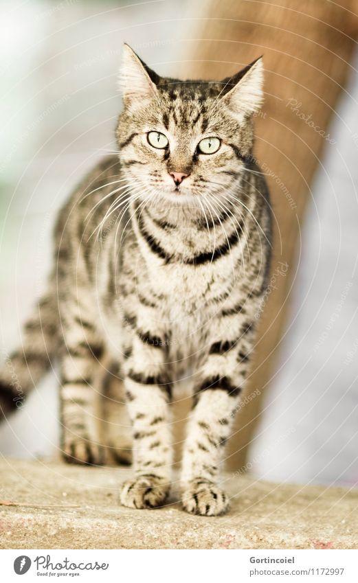 Wild Stadt Wildtier Katze Tiergesicht Fell Pfote 1 Neugier schön wild Straßenkatze Herumtreiben Tigerfellmuster Istanbul Farbfoto Gedeckte Farben Außenaufnahme