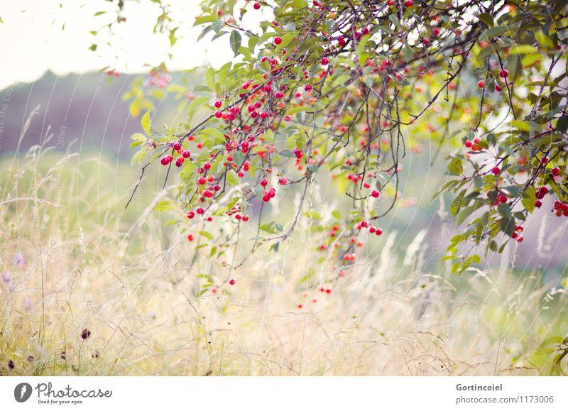 Kirschbaum Umwelt Natur Landschaft Pflanze Sommer Schönes Wetter Baum Nutzpflanze Wiese natürlich Kirsche Obstbaum Frankreich Elsass Farbfoto Außenaufnahme
