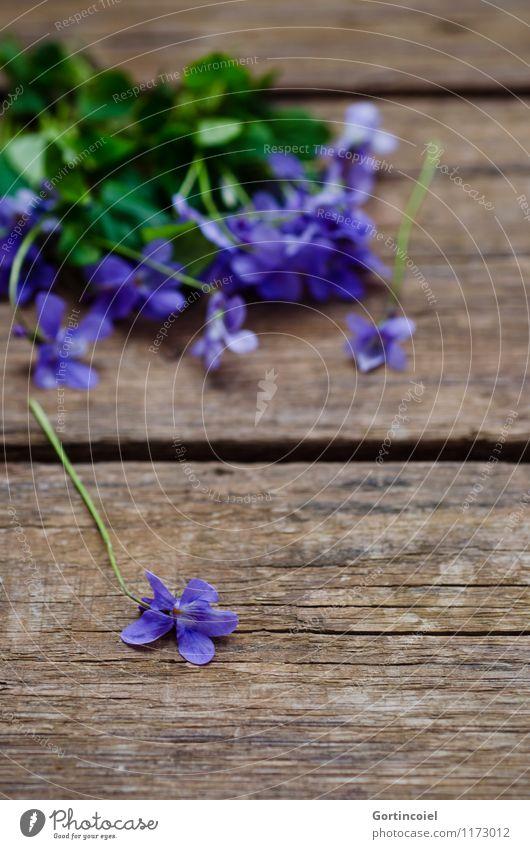 Violen Frühling Sommer Pflanze Blume violett Duftveilchen Veilchengewächse Holztisch Blüte Dekoration & Verzierung schön Farbfoto Innenaufnahme Studioaufnahme