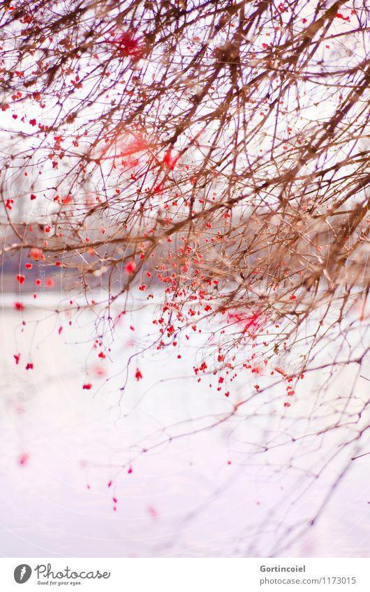 Wirrwarr Natur schön Baum rot Landschaft Winter Umwelt See Ordnung Sträucher Seeufer chaotisch Beeren durcheinander Beerensträucher Gemeiner Schneeball