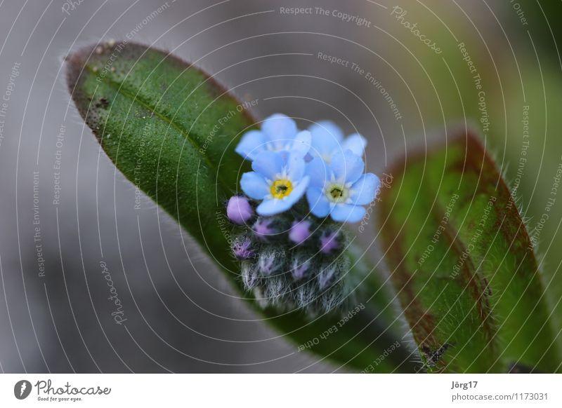 Vergissmeinnicht Natur Pflanze Tier Frühling Blume Grünpflanze Vergißmeinnicht Garten Wiese Farbfoto Außenaufnahme Nahaufnahme Makroaufnahme Tag