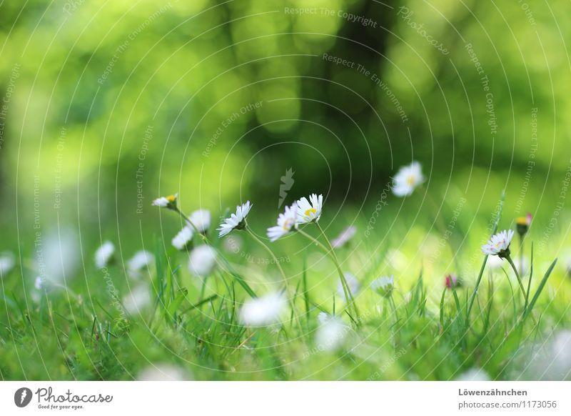 Gänseblümchen-Romantik Natur Frühling Pflanze Blume Gras Blüte Wiese Blühend klein natürlich niedlich gelb grün schwarz weiß Glück Frühlingsgefühle Hoffnung