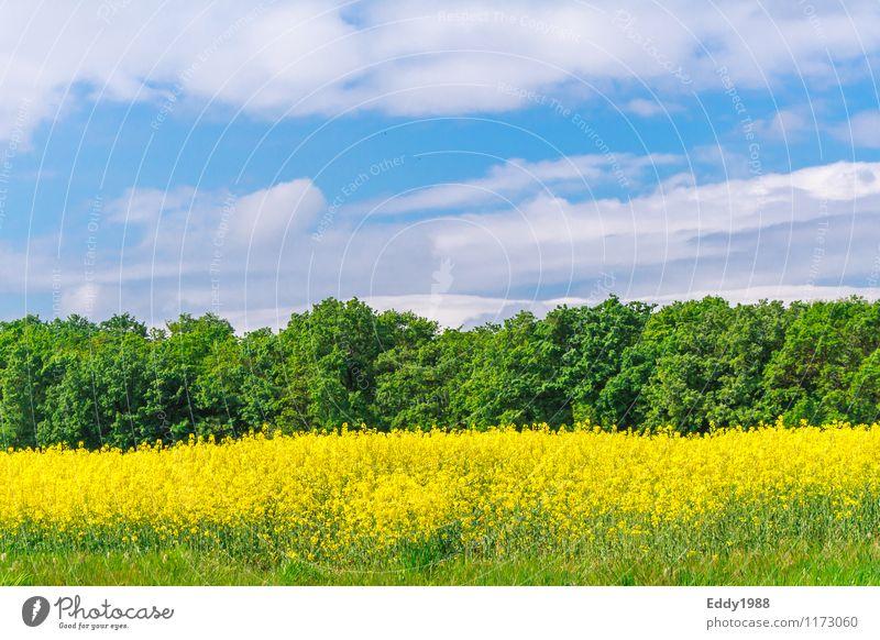 Der Raps erblüht Natur blau Pflanze schön grün Erholung Landschaft Wolken Wald gelb Wärme Frühling Gesundheit Glück Stimmung gehen