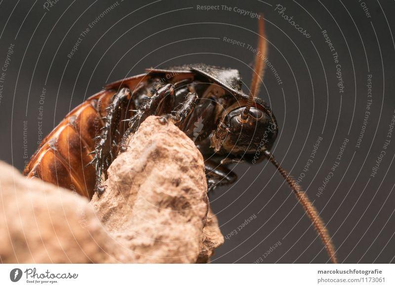 Fauchschabe Tier Käfer Schaben Gemeine Küchenschabe 1 Ekel exotisch gruselig Neugier braun schwarz Angst Entsetzen Todesangst Madagaskar Insekt Schädlinge Plage