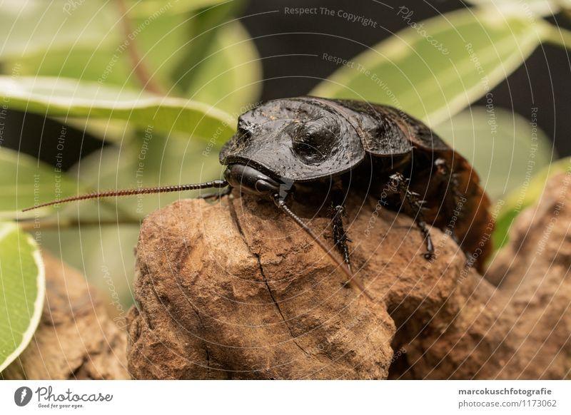 Madagaskar Fauchschabe Tier schwarz außergewöhnlich braun Angst Todesangst Platzangst Insekt gruselig exotisch Käfer Ekel hässlich Entsetzen Schädlinge Plage