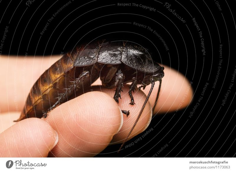 Madagaskar Fauchschabe Käfer Schaben Gemeine Küchenschabe 1 Tier exotisch gruselig klein braun schwarz Insekt Schädlinge Plage Platzangst Ekel Kammerjäger