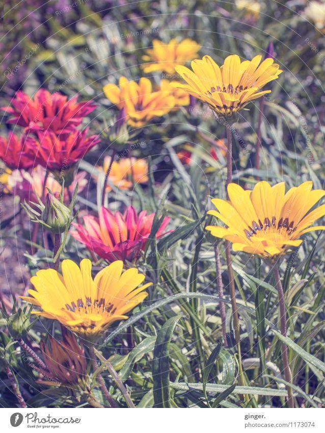 Flores de La Palma Natur Pflanze Blume Blüte Wärme braun mehrfarbig gelb grün rot schön Dekoration & Verzierung mehrere Trichter emporragend Frühling Farbfoto