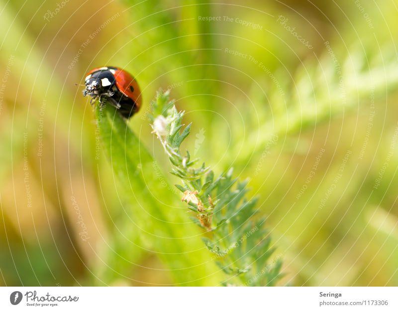 Marienkäfer 1 Natur Pflanze rot Tier frei Käfer Nutztier
