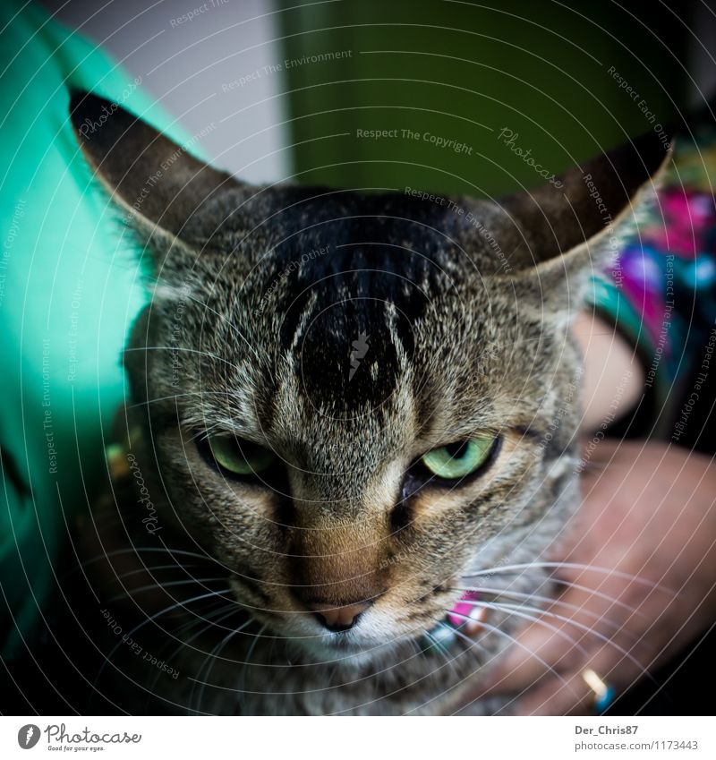 Grimmige Katze Tier Haustier Tiergesicht 1 beobachten berühren Denken bedrohlich klug Wut grün Gefühle Tierliebe Ärger gereizt Feindseligkeit Frustration