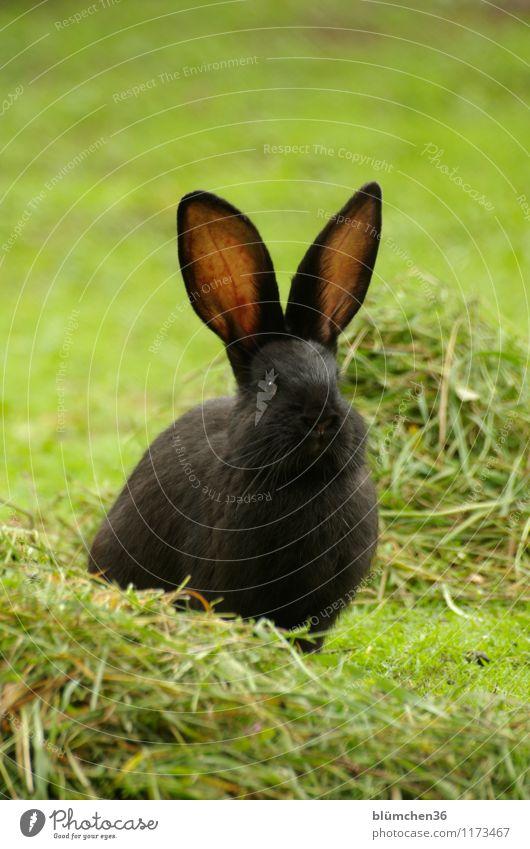 Hören macht schön! Tier schwarz natürlich sitzen warten beobachten niedlich weich Freundlichkeit Fell hören tierisch Haustier Säugetier Hase & Kaninchen