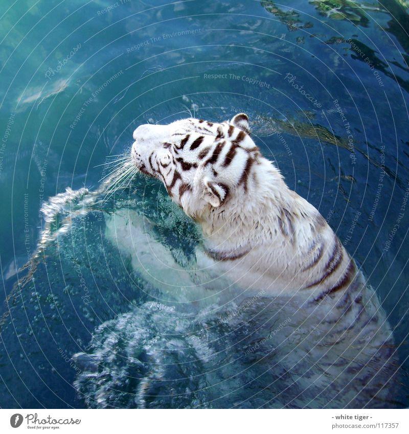 miau!!! Tier Wasser Fell Streifen nass blau schwarz weiß Tiger Schnauze Farbfoto Außenaufnahme Tag Reflexion & Spiegelung Schwimmen & Baden selten 1