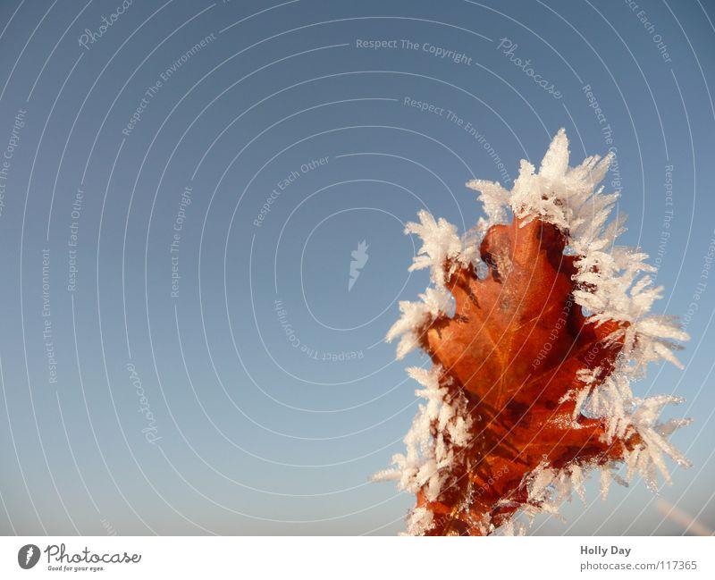 Frostblatt Blatt braun schön kalt Winter Baum Himmel blau Eis Tod bleich Blauer Himmel Schnee