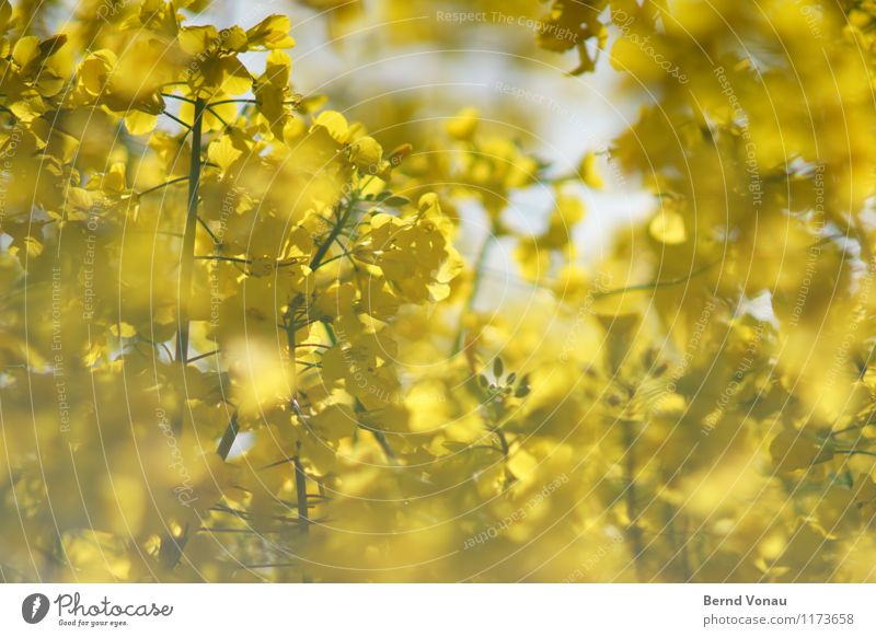 Mein erstes und letztes Rapsbild Sonne Landwirtschaft Forstwirtschaft Pflanze Himmel Frühling Nutzpflanze Wachstum Freundlichkeit frisch hell blau gelb grün