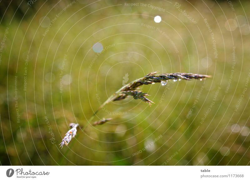 Grashalm Umwelt Natur Pflanze Wassertropfen Sonne Frühling Sommer Schönes Wetter Regen Blüte Grünpflanze Nutzpflanze Wildpflanze Wiese Feld glänzend hängen