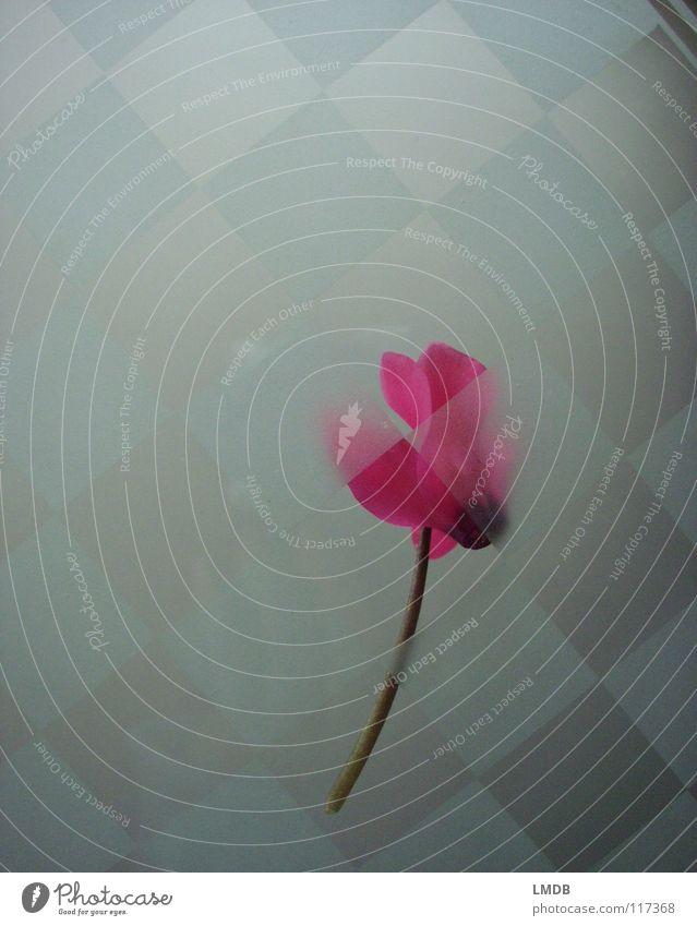 Lady Cyclam Blume Blüte Alpenveilchen rosa Pflanze Muster durchsichtig durchscheinend Quadrat kalt abstrakt außergewöhnlich Tod verschwimmen Ferne Grenze