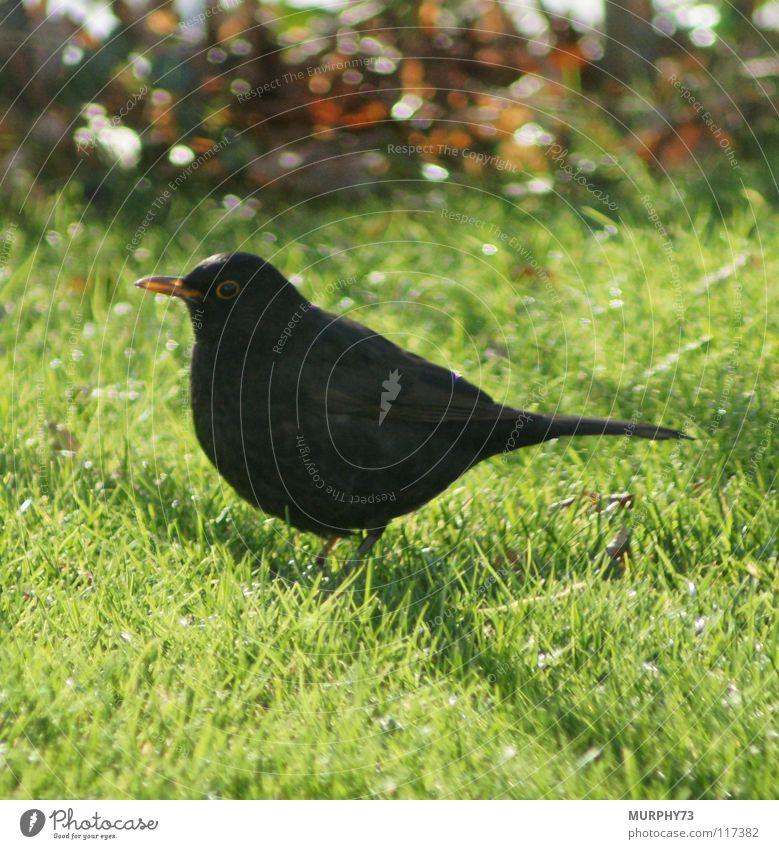 Amsel im Rasen grün schwarz Auge Tier gelb orange Vogel Feder Schnabel