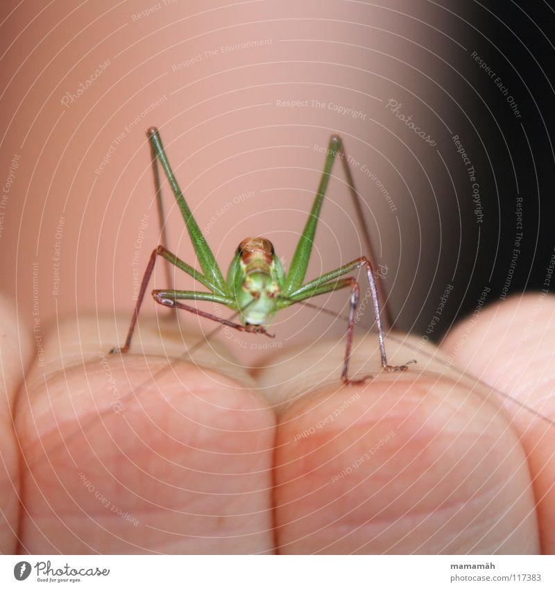 Die Neugier des Grashüpfers! Teil 1 grün braun klein Insekt hüpfen springen Sommer Hand Finger Halm Wiese Blick winzig Heuschrecke Garten beobachten Hüpfer