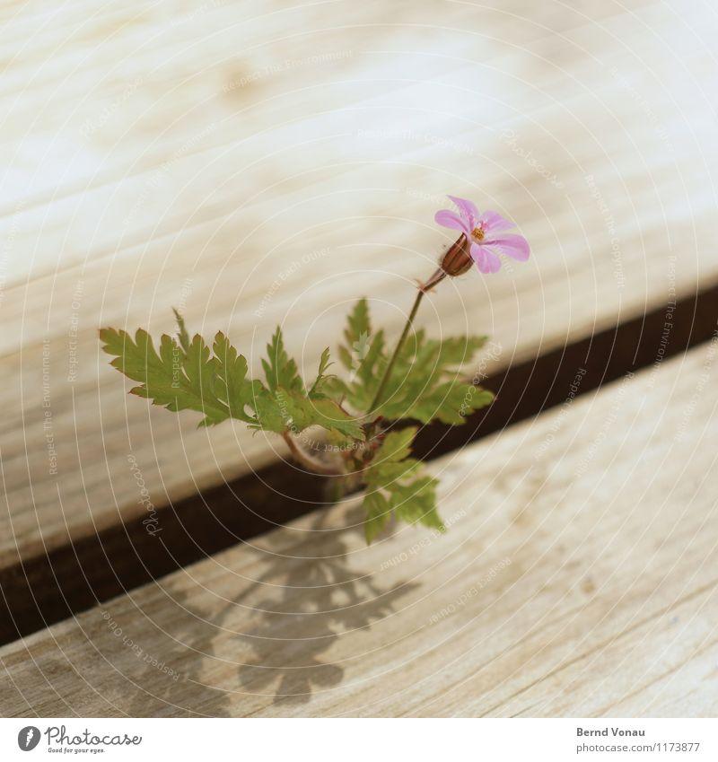 blümle Umwelt Pflanze Blume Blatt Blüte braun grau grün violett Terrasse Fuge Wachstum klein Garten Wärme Frühling niedlich Blütenblatt Farbfoto Außenaufnahme
