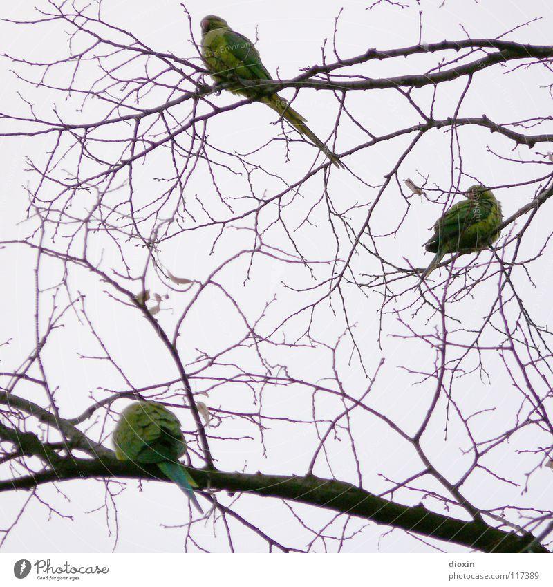 Rhein-Neckar-Sittiche #1 Farbfoto Gedeckte Farben Abend Freiheit Umwelt Natur Tier Baum Vogel Flügel 3 Tiergruppe Tierfamilie fliegen sitzen warten grün