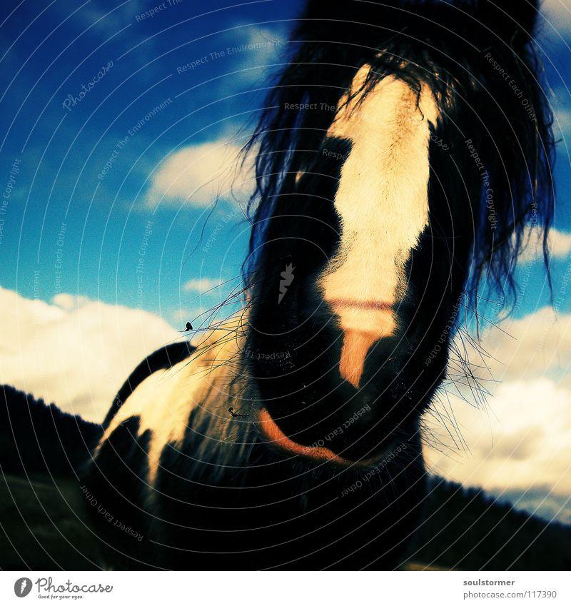 Kuhpferd Cross Processing Grünstich Gelbstich Pferd Wiese grün schwarz weiß Schnauze Mähne Bart Pferdekopf Tier Fröhlichkeit Wolken fantastisch Neugier