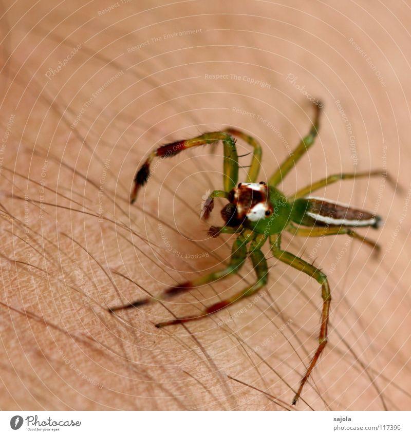 giftgrün Haut Haare & Frisuren Arme Tier Urwald Spinne Tiergesicht Beine 1 Linie springen gelb weiß Angst Springspinne Härchen Borneo Kiefer Asien Farbfoto