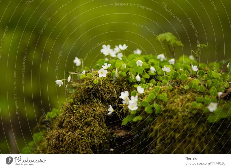 frühlingsblümeleinchen - waldsauerklee Natur Pflanze grün weiß Blume Landschaft Wald Umwelt Leben Frühling Blüte Glück Stimmung Wachstum Erde ästhetisch