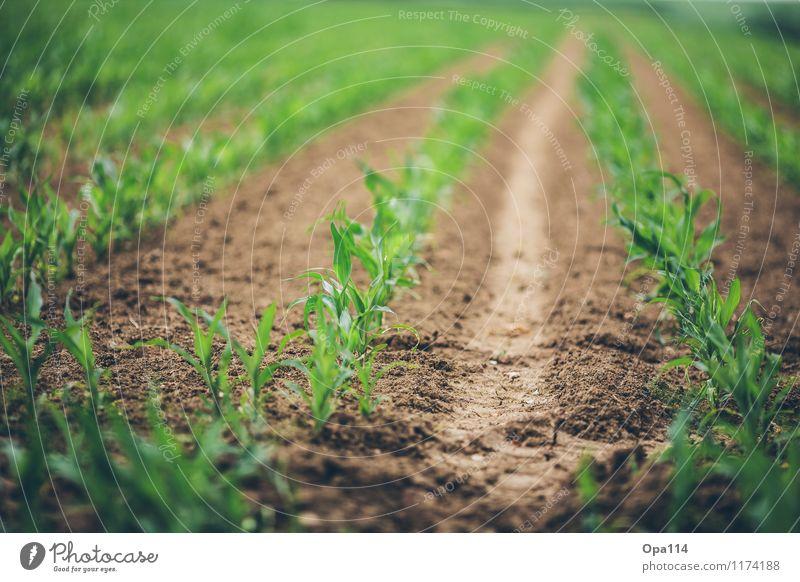 """Mais Umwelt Natur Pflanze Tier Frühling Sommer Wetter Schönes Wetter Nutzpflanze Feld Blühend Wachstum """"Agrar Bauer Landwirtschaft Anbau Grün klein Erde Spur"""""""