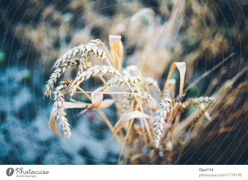 """Weizen I Umwelt Natur Pflanze Tier Sommer Schönes Wetter Nutzpflanze Feld Blühend blau gelb gold """"Ernte Getriede stachelig spitz Ähre Korn Sommerduft Agrar"""