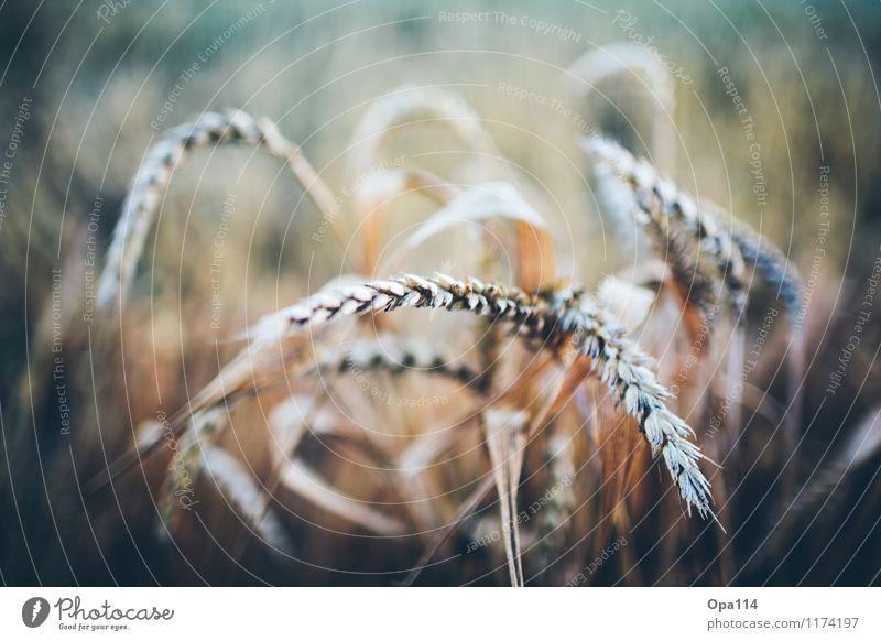 Weizen III Natur Pflanze Sommer Tier Umwelt Feld Wachstum Blühend Schönes Wetter Nutzpflanze