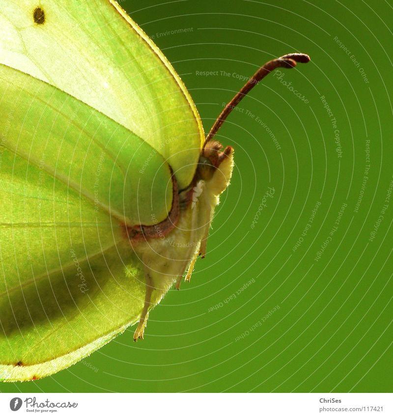 weiblicher Zitronenfalter ( Gonepteryx rhamni )_02 Sommer Frühling Schmetterling Insekt gelb grün Tier Weißlinge Gegenlicht Nordwalde Makroaufnahme Nahaufnahme