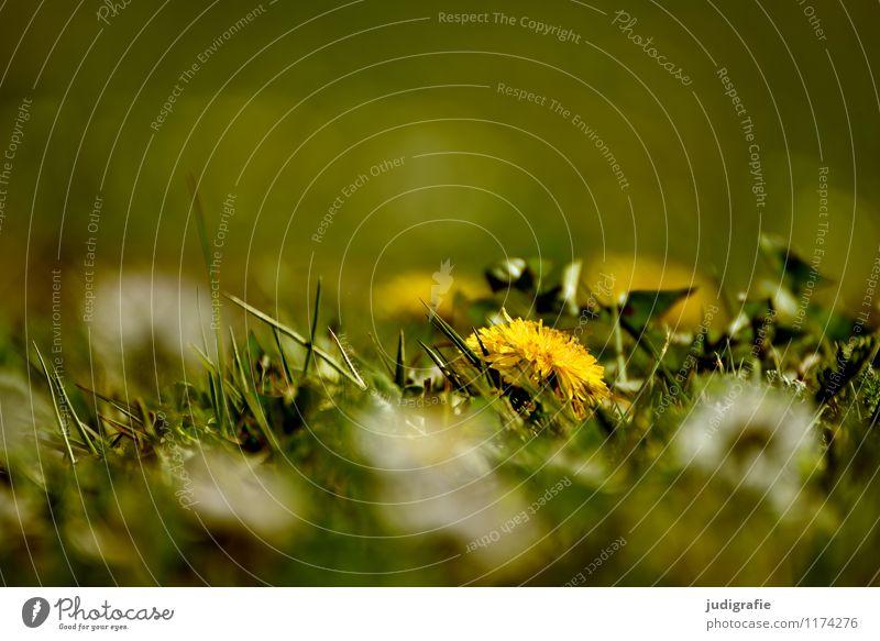 Wiese Natur Pflanze grün Sommer Umwelt gelb Frühling Blüte natürlich Gras klein Garten Park wild Wachstum