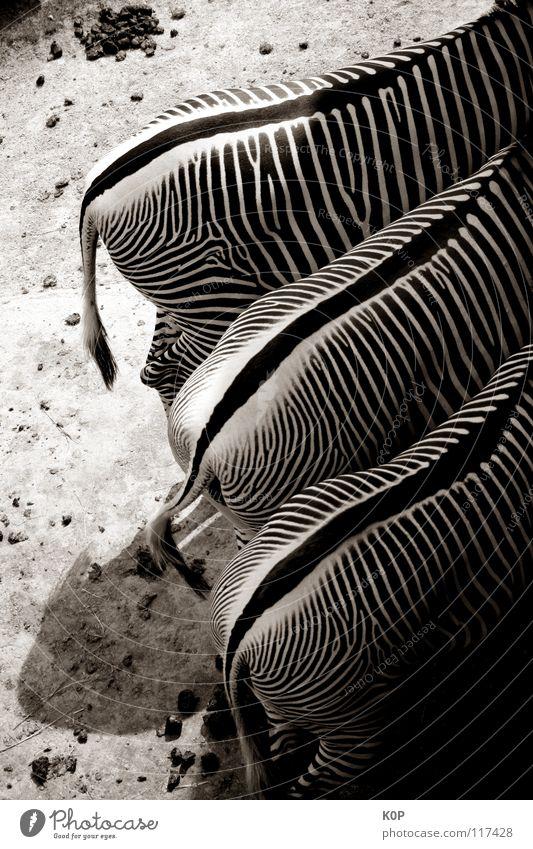 Zebras von hinten Zoo 3 Tier Säugetier Schwarzweißfoto Hinterteil
