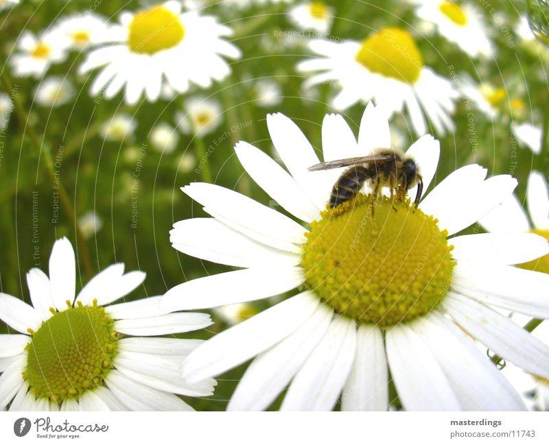 symbiose Biene Honig Fertilisation Verkehr Blume Blüte bestäubung gelb/weiß Löwenzahn