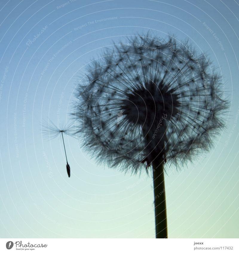 Außenseiter ausbreiten ausstoßen Blüte leicht Frühling Löwenzahn rund Haarflieger Schweben Sommer Stengel startbereit Stil verbreiten Fortpflanzung Luftverkehr