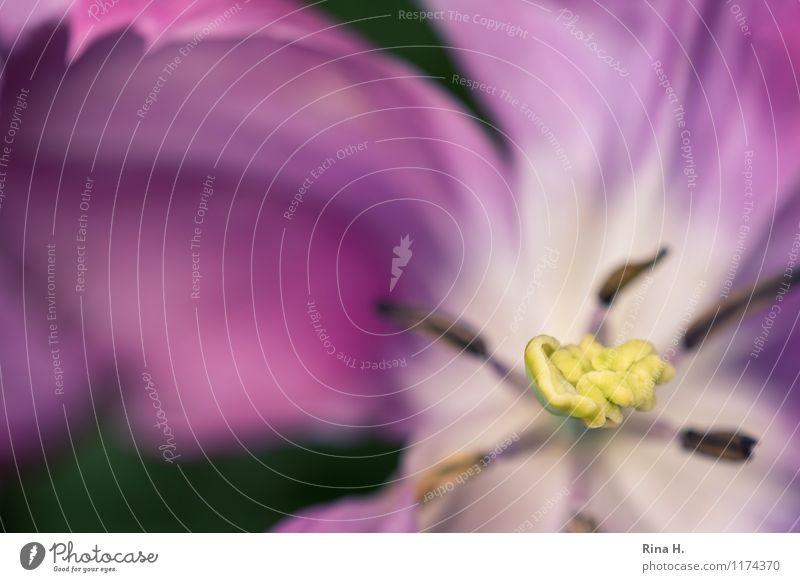 Soft Blühend Blütenblatt Tulpe verblüht Einblick Blütenstempel
