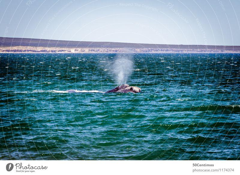 whale watching - Peninsula Valdés Ferien & Urlaub & Reisen Tourismus Ausflug Abenteuer Ferne Freiheit Kreuzfahrt Sommer Strand Meer Insel Wellen Natur