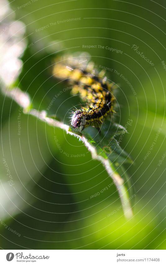 raupe Pflanze Tier Frühling Sommer Schönes Wetter Blatt Garten Park Wald Wildtier 1 Bewegung Natur Raupe krabbeln Kleiner Fuchs Farbfoto Außenaufnahme
