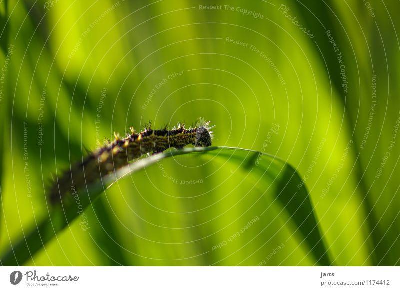 cross green Natur Pflanze Tier Frühling Schönes Wetter Gras Grünpflanze Wiese Wildtier 1 klein natürlich Raupe krabbeln Überqueren Schmetterling Kleiner Fuchs